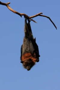 The grey-headed flying fox hangs upside down all day and works night shifts without evidence of musculo-skeletal injury