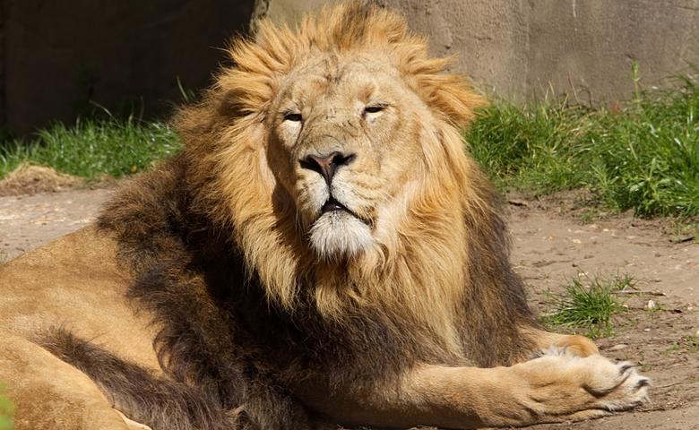 Lion,In,London,Zoo